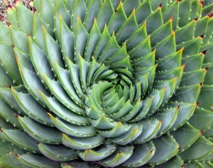 Aloe polyphylla spiral by Just chaos - cc license