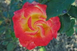 spirals in nature - rose